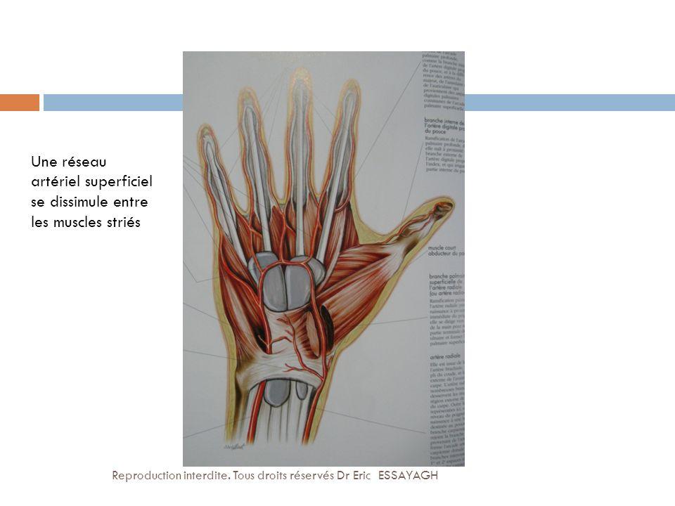 Une réseau artériel superficiel se dissimule entre les muscles striés Reproduction interdite. Tous droits réservés Dr Eric ESSAYAGH
