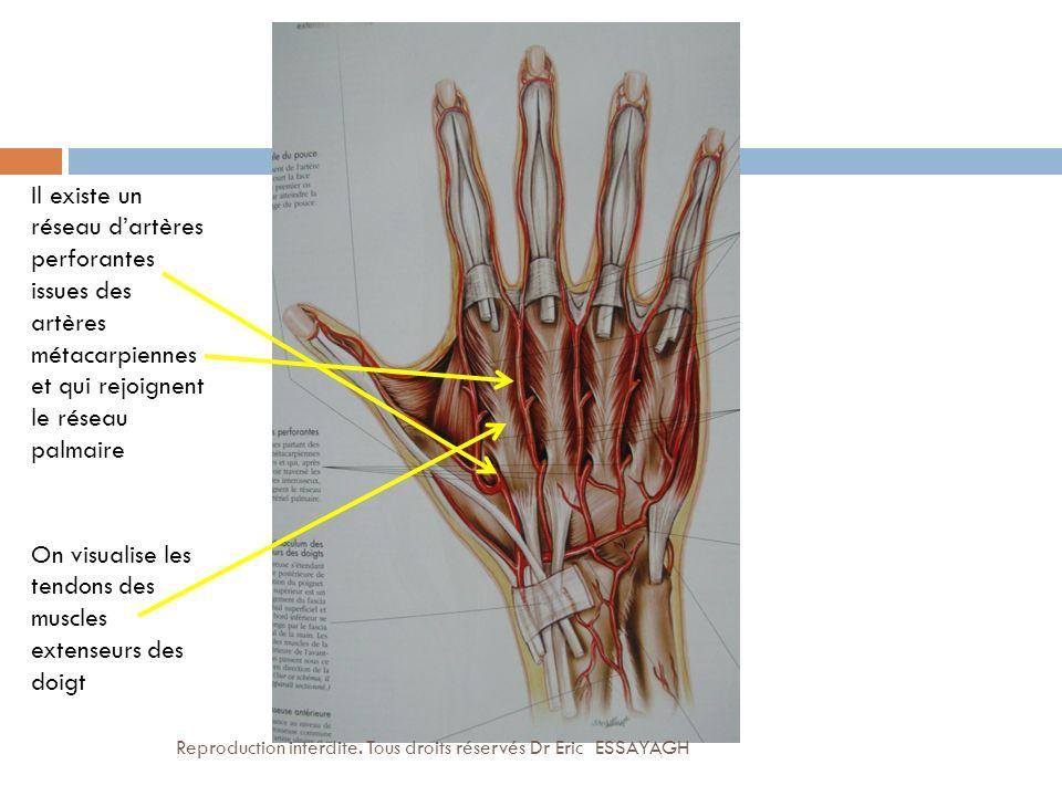 Il existe un réseau dartères perforantes issues des artères métacarpiennes et qui rejoignent le réseau palmaire On visualise les tendons des muscles e