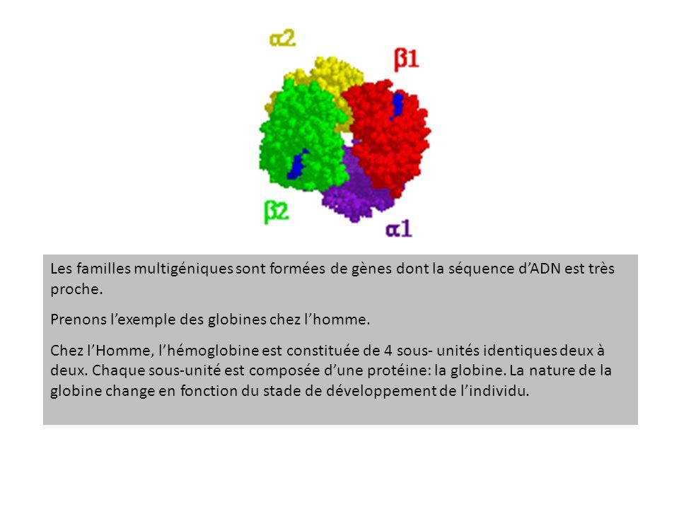 Les familles multigéniques sont formées de gènes dont la séquence dADN est très proche. Prenons lexemple des globines chez lhomme. Chez lHomme, lhémog