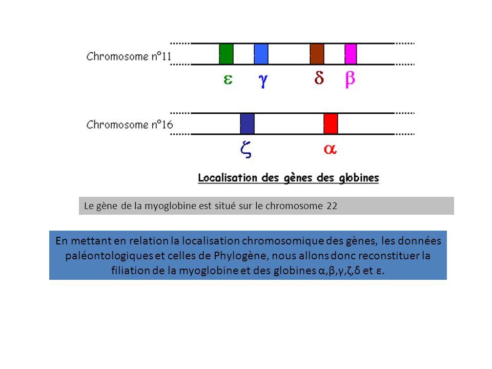 Le gène de la myoglobine est situé sur le chromosome 22 En mettant en relation la localisation chromosomique des gènes, les données paléontologiques e