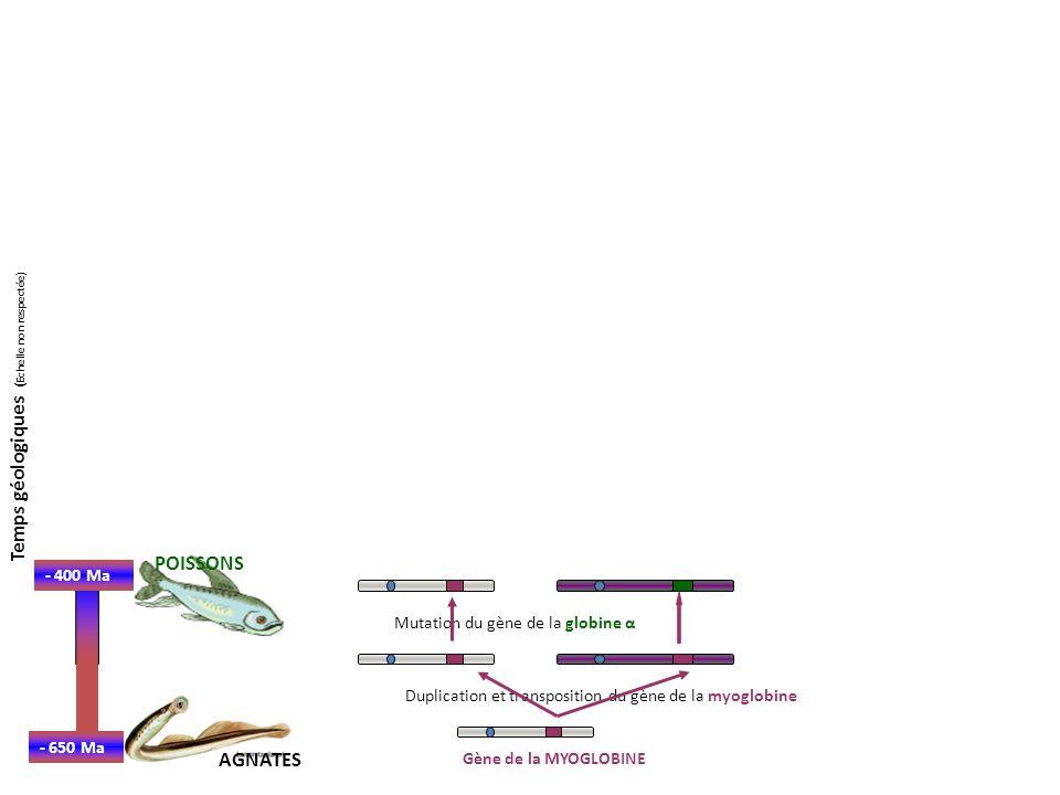 - 650 Ma Gène de la MYOGLOBINE - 400 Ma POISSONS AGNATES Duplication et transposition du gène de la myoglobine Mutation du gène de la globine α Duplication et transposition du gène de la globine α - 350 Ma AMPHIBIENS Temps géologiques ( Echelle non respectée)