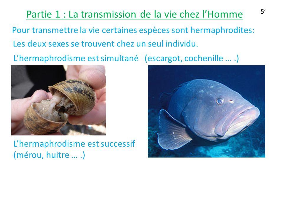 Partie 1 : La transmission de la vie chez lHomme Pour transmettre la vie certaines espèces sont hermaphrodites: Les deux sexes se trouvent chez un seu