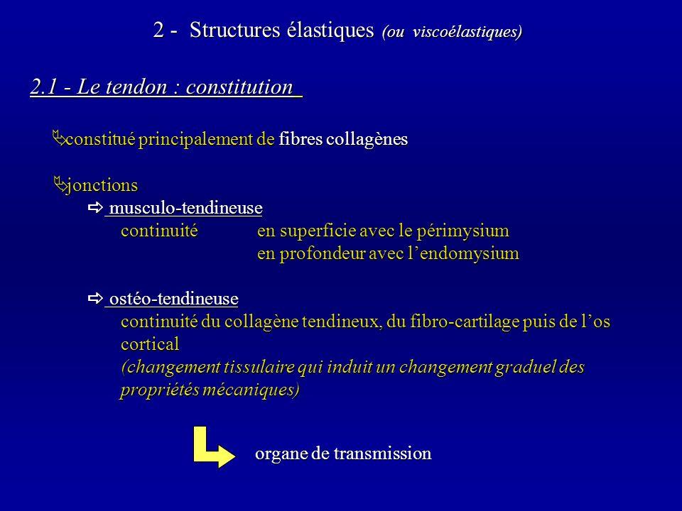 2.1 - Le tendon : constitution constitué principalement de fibres collagènes constitué principalement de fibres collagènes 2 - Structures élastiques (ou viscoélastiques) organe de transmission organe de transmission jonctions jonctions musculo-tendineuse musculo-tendineuse continuité en superficie avec le périmysium en profondeur avec lendomysium ostéo-tendineuse ostéo-tendineuse continuité du collagène tendineux, du fibro-cartilage puis de los cortical (changement tissulaire qui induit un changement graduel des propriétés mécaniques)