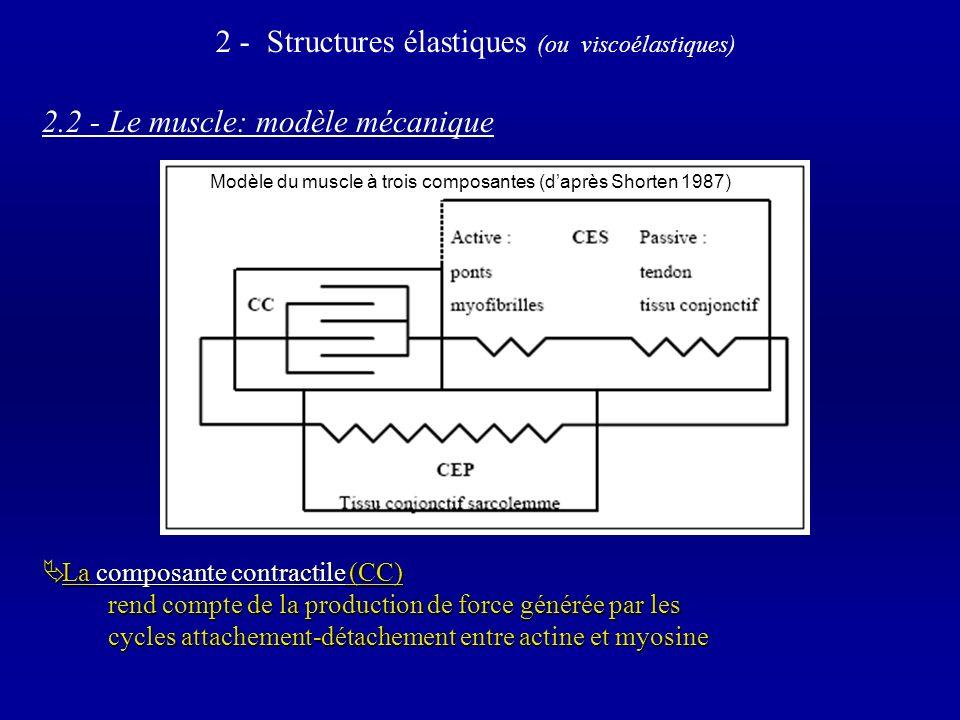 2.2 - Le muscle: modèle mécanique La composante contractile (CC) La composante contractile (CC) rend compte de la production de force générée par les cycles attachement-détachement entre actine et myosine 2 - Structures élastiques (ou viscoélastiques) Modèle du muscle à trois composantes (daprès Shorten 1987)