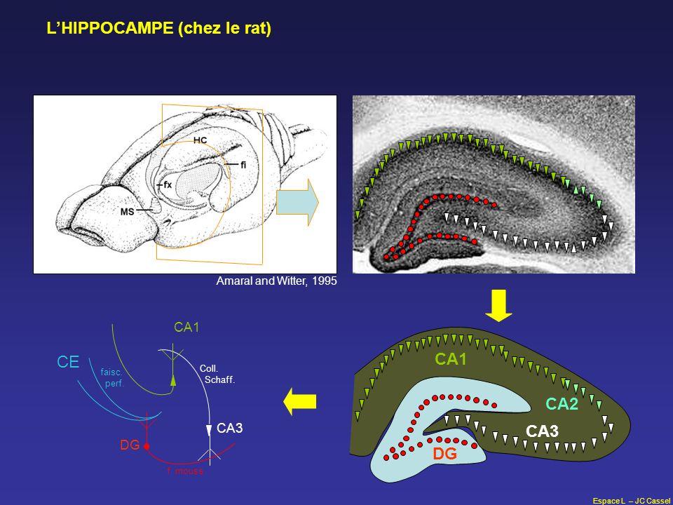 Espace L – JC Cassel LHIPPOCAMPE (chez le rat) Amaral and Witter, 1995 f. mouss Coll. Schaff. CE faisc. perf. DG CA3 CA1 CA2 CA3 DG