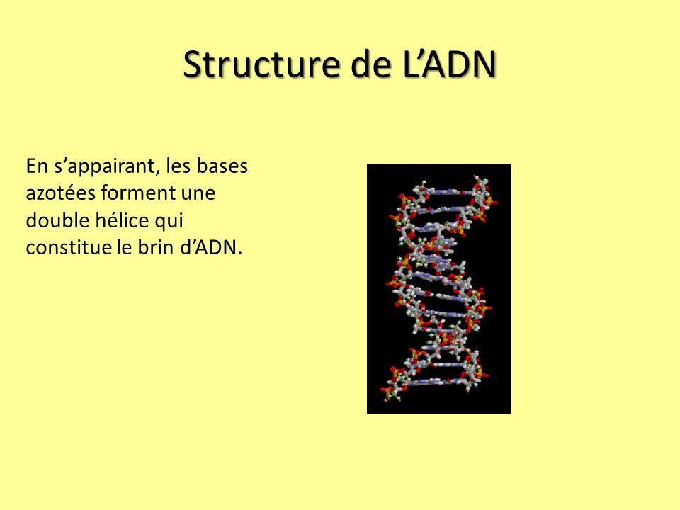 Structure de LADN En sappairant, les bases azotées forment une double hélice qui constitue le brin dADN.