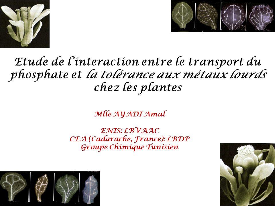 Mlle AYADI Amal ENIS: LBVAAC CEA (Cadarache, France): LBDP Groupe Chimique Tunisien Etude de linteraction entre le transport du phosphate et la tolérance aux métaux lourds chez les plantes
