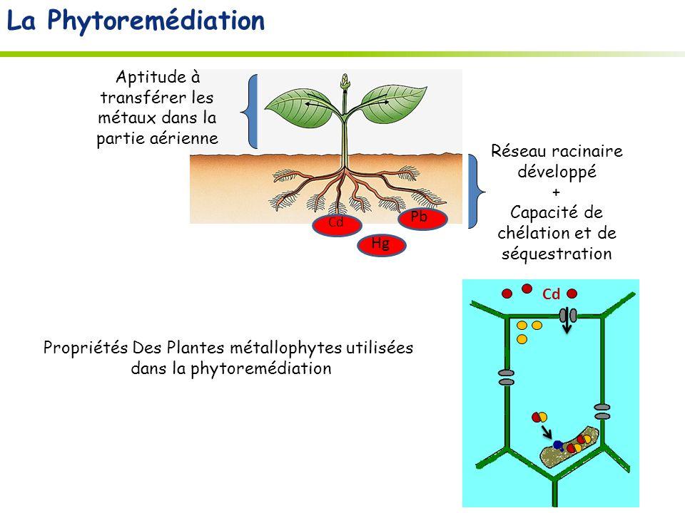 Propriétés Des Plantes métallophytes utilisées dans la phytoremédiation Hg Pb Cd Réseau racinaire développé + Capacité de chélation et de séquestration Aptitude à transférer les métaux dans la partie aérienne Cd La Phytoremédiation