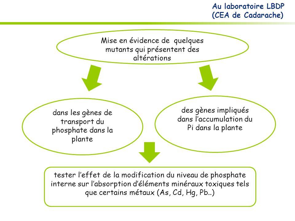 Mise en évidence de quelques mutants qui présentent des altérations dans les gènes de transport du phosphate dans la plante des gènes impliqués dans laccumulation du Pi dans la plante Au laboratoire LBDP (CEA de Cadarache) tester leffet de la modification du niveau de phosphate interne sur labsorption déléments minéraux toxiques tels que certains métaux (As, Cd, Hg, Pb..)