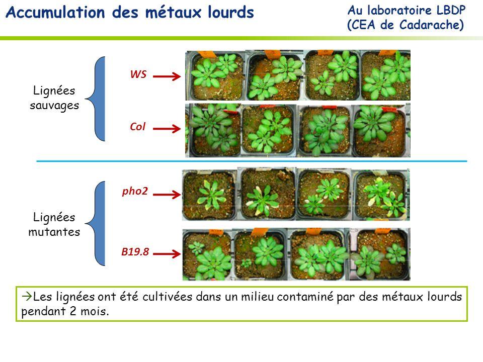 Accumulation des métaux lourds B19.8 pho2 Les lignées ont été cultivées dans un milieu contaminé par des métaux lourds pendant 2 mois.