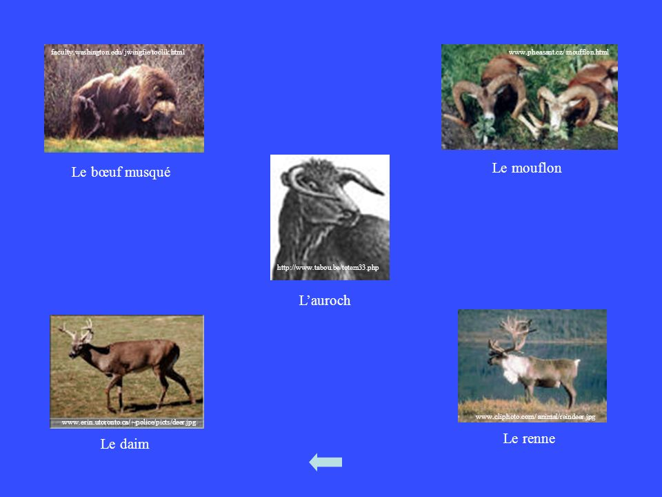 faculty.washington.edu/ jwingfie/toolik.html Le bœuf musqué www.pheasant.cz/ moufflon.html Le mouflon www.erin.utoronto.ca/ ~police/picts/deer.jpg Le