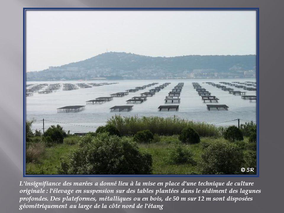 L insignifiance des marées a donné lieu à la mise en place d une technique de culture originale : l élevage en suspension sur des tables plantées dans le sédiment des lagunes profondes.