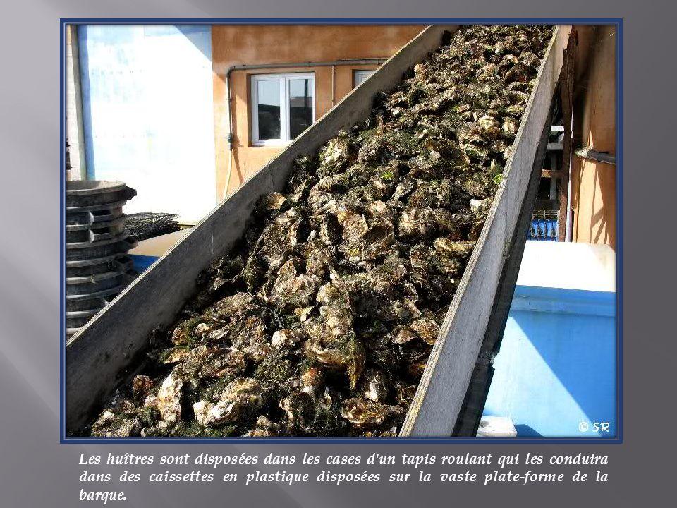 Les huîtres sont disposées dans les cases d un tapis roulant qui les conduira dans des caissettes en plastique disposées sur la vaste plate-forme de la barque.