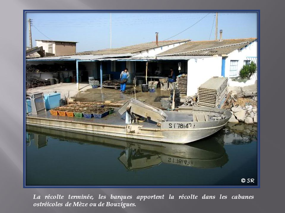 La récolte terminée, les barques apportent la récolte dans les cabanes ostréicoles de Mèze ou de Bouzigues.