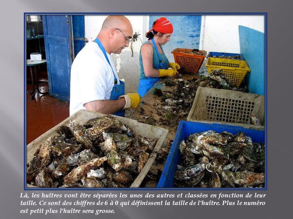 Là, les huîtres vont être séparées les unes des autres et classées en fonction de leur taille.
