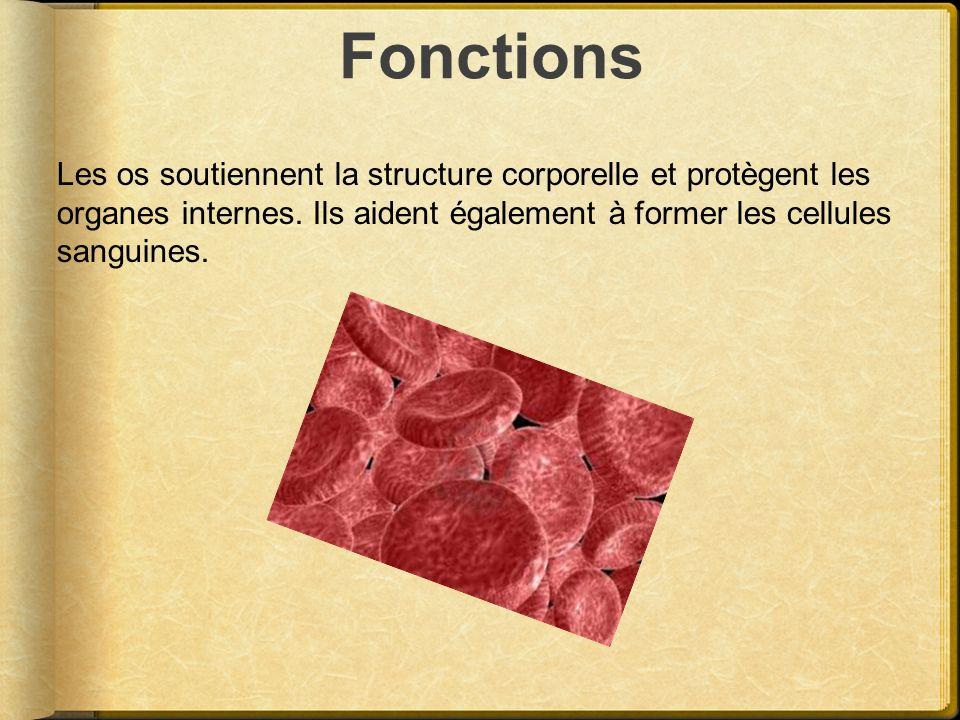 Fonctions Les os soutiennent la structure corporelle et protègent les organes internes. Ils aident également à former les cellules sanguines.