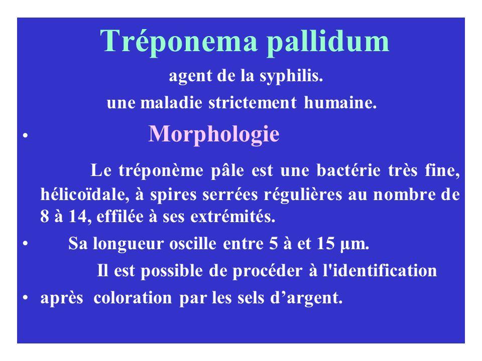 Tréponema pallidum agent de la syphilis. une maladie strictement humaine. Morphologie Le tréponème pâle est une bactérie très fine, hélicoïdale, à spi