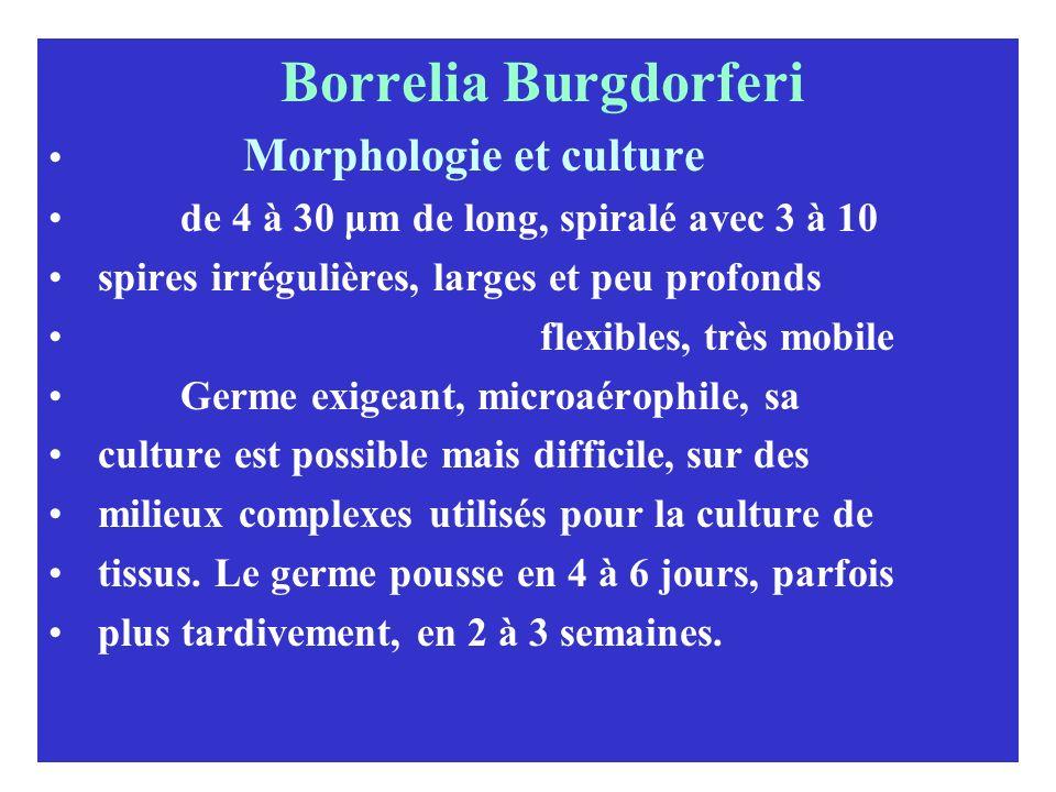 Borrelia Burgdorferi Morphologie et culture de 4 à 30 μm de long, spiralé avec 3 à 10 spires irrégulières, larges et peu profonds flexibles, très mobi