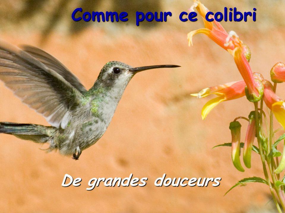 Comme pour ce colibri De grandes douceurs