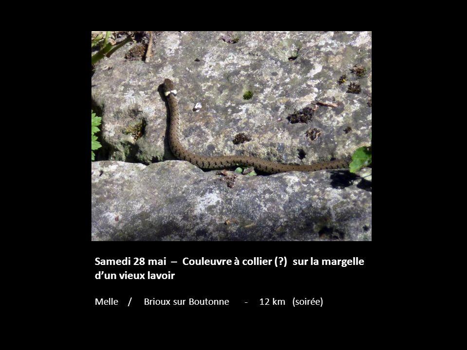 Samedi 28 mai – Couleuvre à collier (?) sur la margelle dun vieux lavoir Melle / Brioux sur Boutonne - 12 km (soirée)