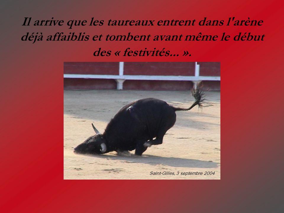 Il arrive que les taureaux entrent dans l'arène déjà affaiblis et tombent avant même le début des « festivités... ». Saint-Gilles, 3 septembre 2004