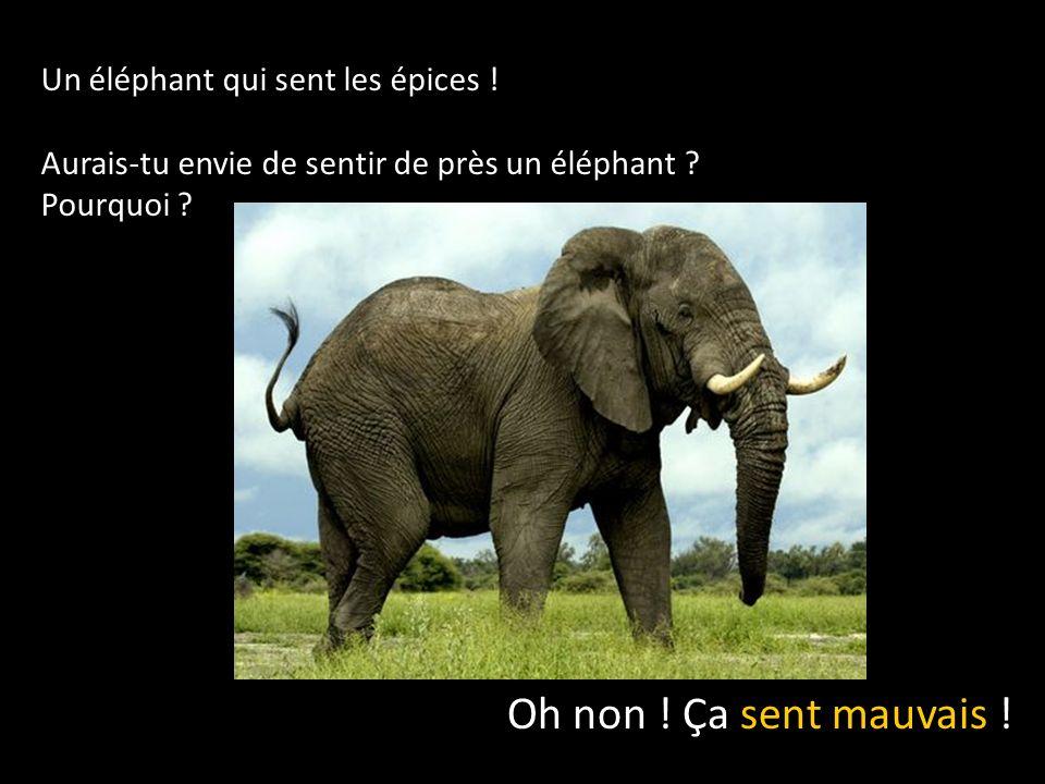 Un éléphant qui sent les épices .Aurais-tu envie de sentir de près un éléphant .