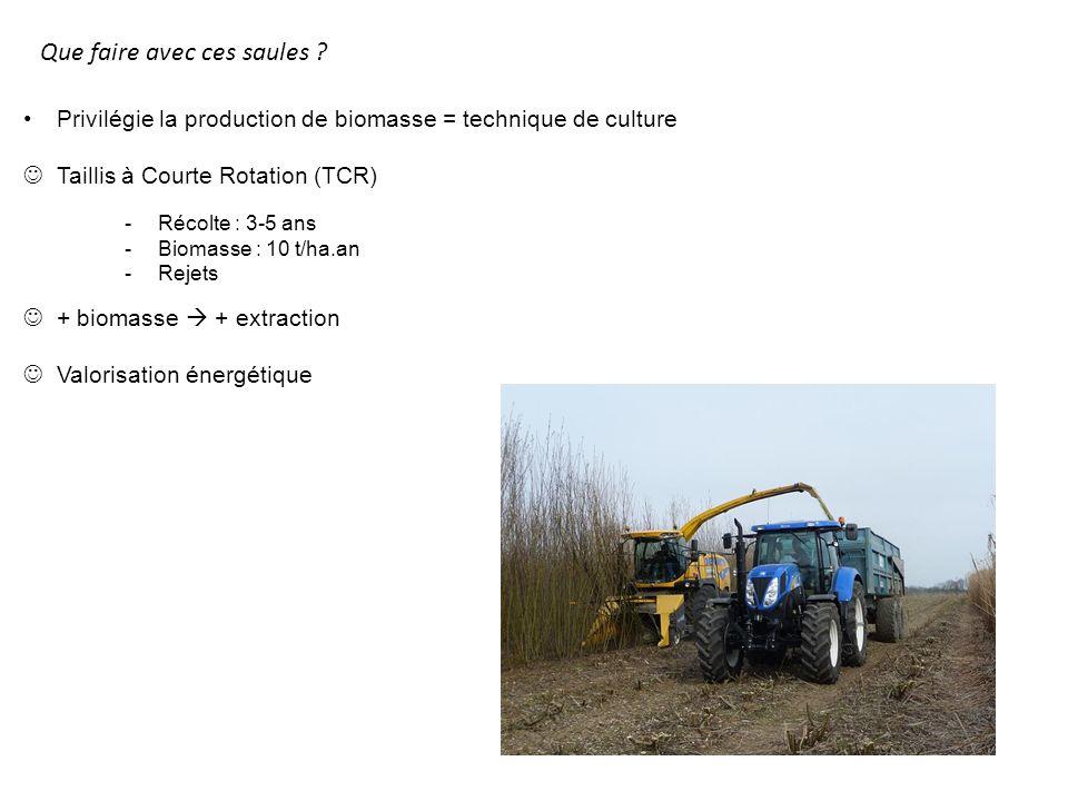 Que faire avec ces saules ? Privilégie la production de biomasse = technique de culture Taillis à Courte Rotation (TCR) + biomasse + extraction Valori