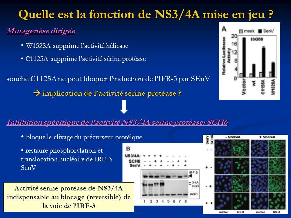 Quelle est la fonction de NS3/4A mise en jeu ? Mutagenèse dirigée W1528A supprime lactivité hélicase C1125A supprime lactivité sérine protéase souche