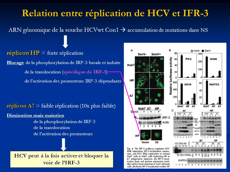 Relation entre réplication de HCV et IFR-3 ARN génomique de la souche HCVwt Con1 accumulation de mutations dans NS réplicon HP réplicon HP = forte rép