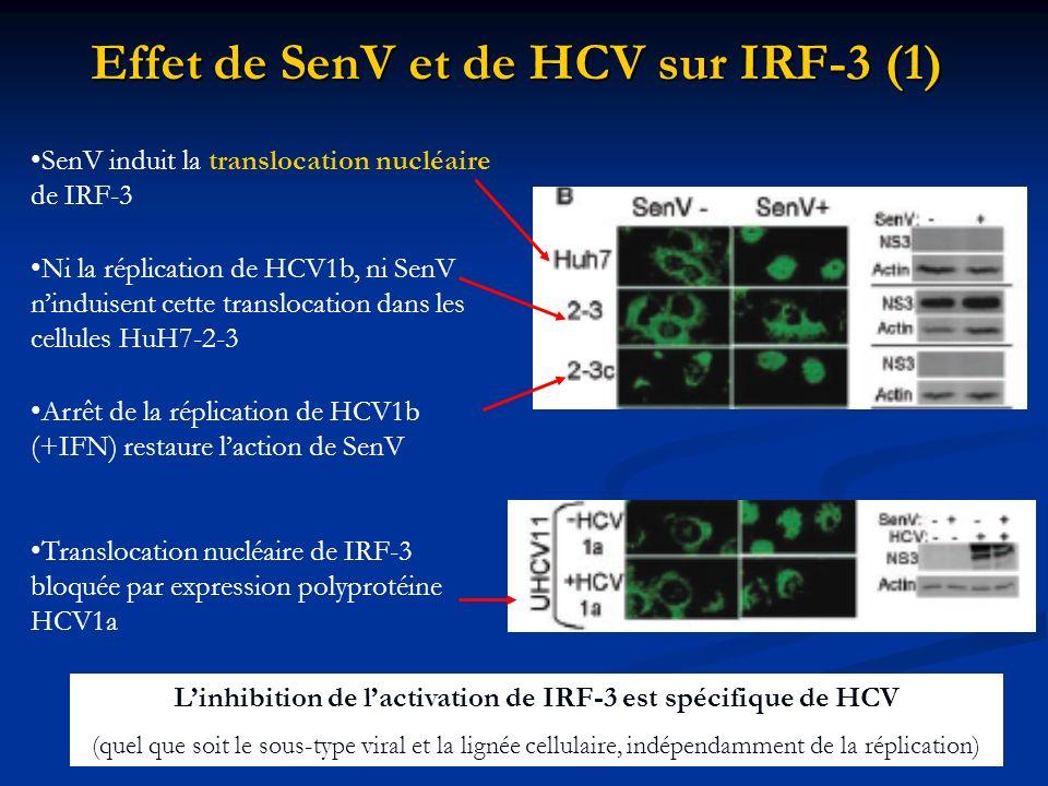 Effet de SenV et de HCV sur IRF-3 (1) SenV induit la translocation nucléaire de IRF-3 Ni la réplication de HCV1b, ni SenV ninduisent cette translocati