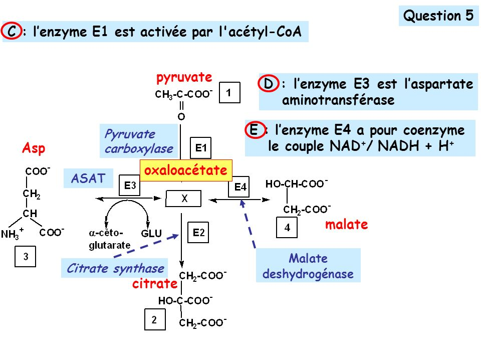 pyruvate oxaloacétate Pyruvate carboxylase malate Asp ASAT citrate Malate deshydrogénase Question 5 E : lenzyme E4 a pour coenzyme le couple NAD + / NADH + H + D : lenzyme E3 est laspartate aminotransférase C : lenzyme E1 est activée par l acétyl-CoA Citrate synthase