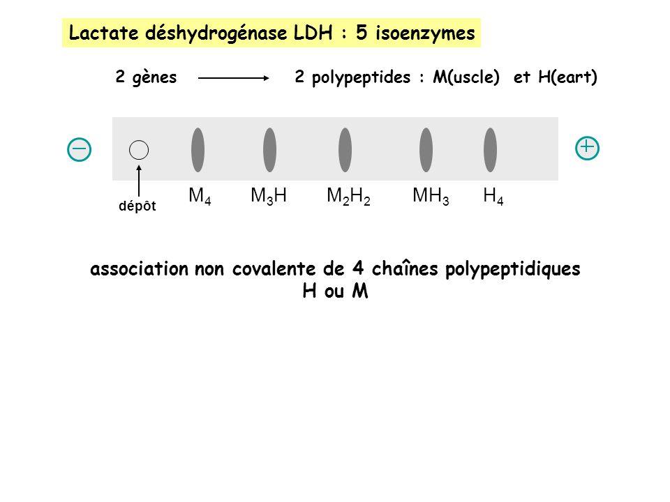 Lactate déshydrogénase LDH : 5 isoenzymes 2 gènes 2 polypeptides : M(uscle) et H(eart) M4M4 M3HM3HM2H2M2H2 MH 3 H4H4 dépôt association non covalente de 4 chaînes polypeptidiques H ou M