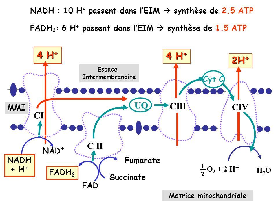 NADH : 10 H + passent dans lEIM synthèse de 2.5 ATP FADH 2 : 6 H + passent dans lEIM synthèse de 1.5 ATP UQ 4 H + EspaceIntermembranaire Matrice mitochondriale CI Succinate NAD + CIII CIV 4 H + 2H + Fumarate Cyt c 1 2 O 2 + 2 H + H2OH2O MMI C II Cyt C FADH 2 NADH + H + FAD
