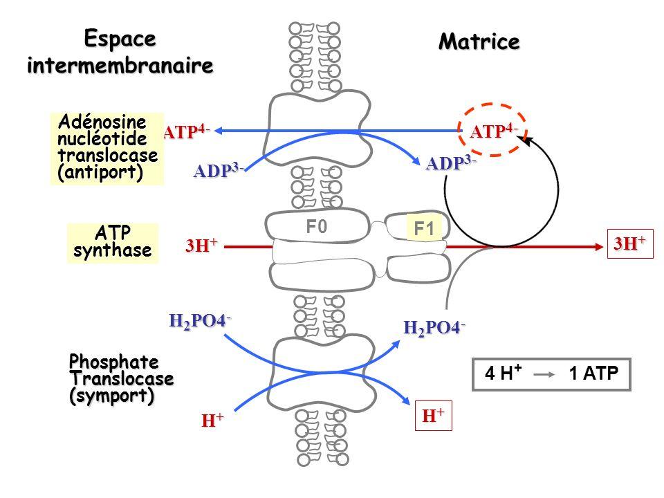 ATP 4- ADP 3- ATP 4- ADP 3- 3H + H+H+H+H+ H+H+H+H+ H 2 PO4 - Espaceintermembranaire Matrice Adénosinenucléotidetranslocase(antiport) ATPsynthase PhosphateTranslocase(symport) F0 F1 4 H + 1 ATP