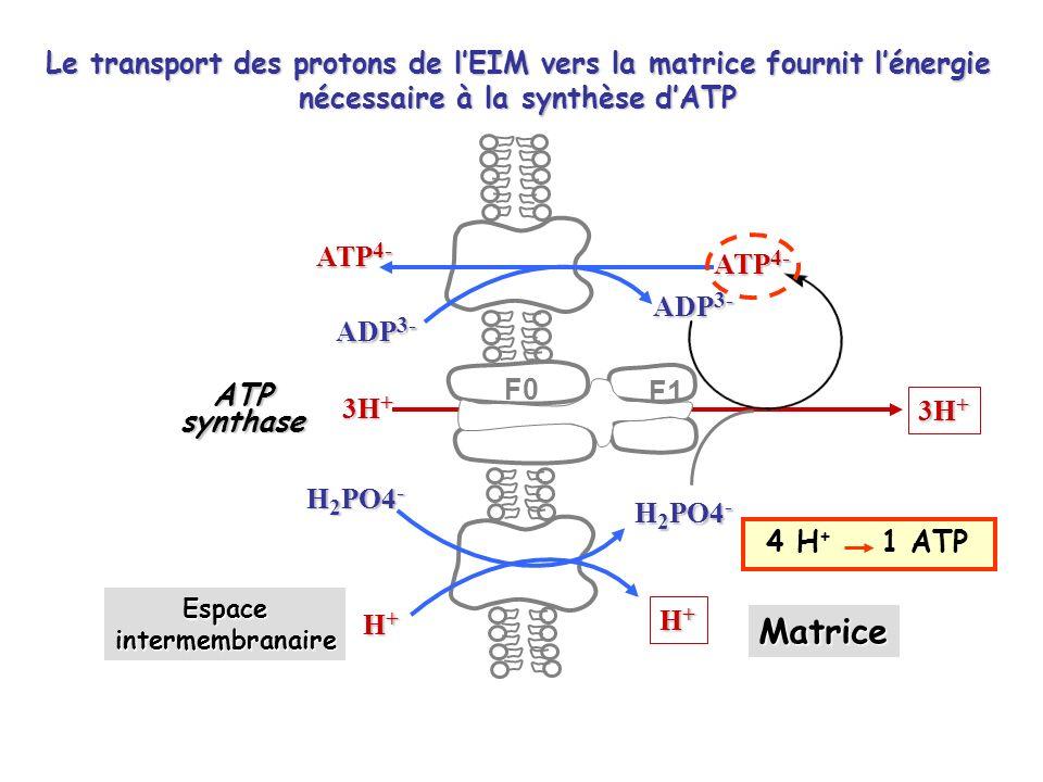 ATP 4- ADP 3- ATP 4- ADP 3- 3H + H+H+H+H+ H+H+H+H+ H 2 PO4 - Espaceintermembranaire Matrice ATPsynthase F0 F1 4 H + 1 ATP Le transport des protons de lEIM vers la matrice fournit lénergie nécessaire à la synthèse dATP