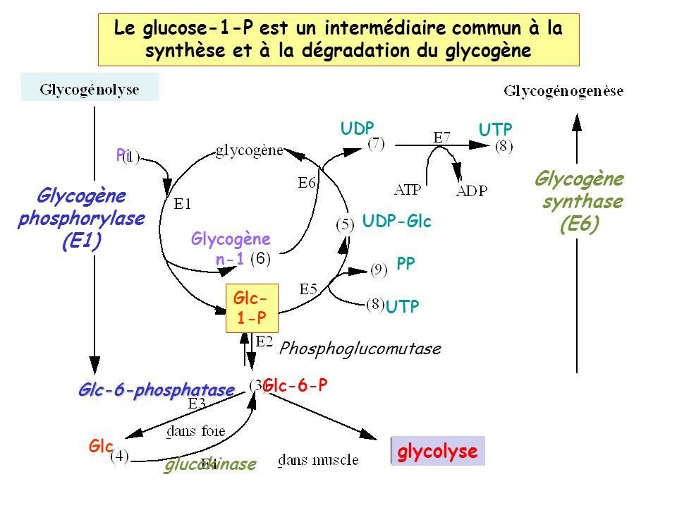 Pi Glycogène n-1 Glc- 1-P glycolyse Glc-6-P Phosphoglucomutase PP UTP UDP-Glc Glycogène synthase (E6) UDP UTP GlcGlc-6-phosphatase Glycogène phosphorylase (E1) glucokinase Le glucose-1-P est un intermédiaire commun à la synthèse et à la dégradation du glycogène