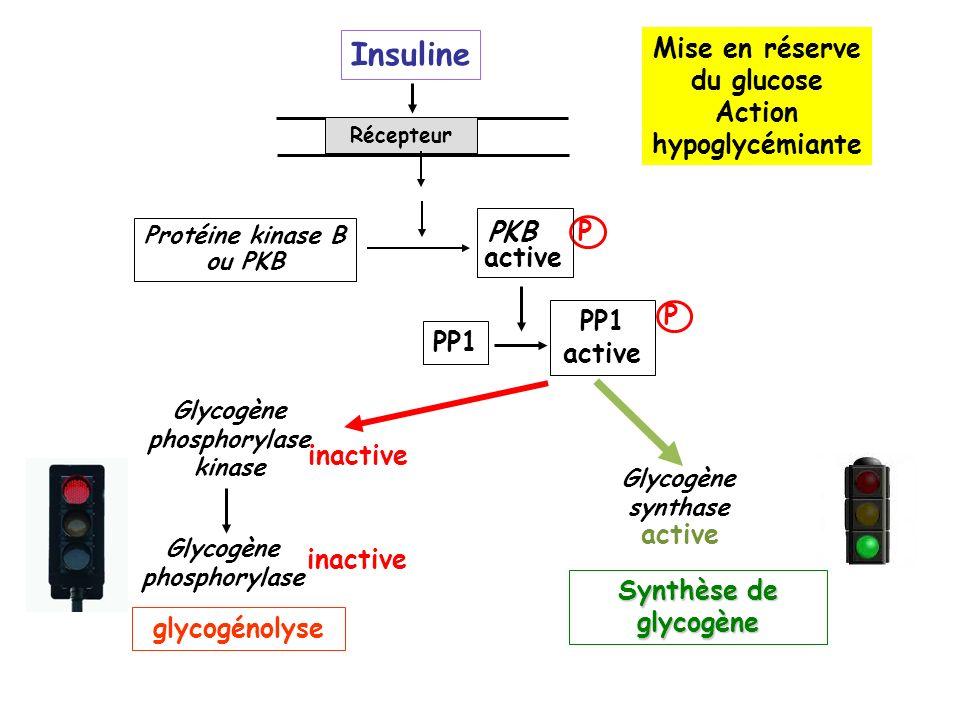 Récepteur Protéine kinase B ou PKB PKB P active PP1 PP1 active P Glycogène phosphorylase Glycogène phosphorylase kinase inactive glycogénolyse Glycogène synthase active Synthèse de glycogène Insuline Mise en réserve du glucose Action hypoglycémiante