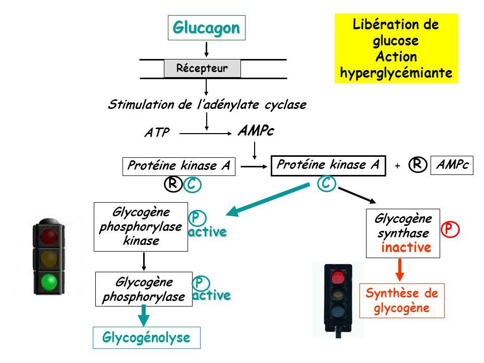 Libération de glucose Action hyperglycémiante inactive P Glycogène synthase Synthèse de glycogène Récepteur ATP AMPc Glucagon Stimulation de ladénylate cyclase R Protéine kinase A C C R AMPc + Glycogène phosphorylase Glycogène phosphorylase kinase active Glycogénolyse P active P