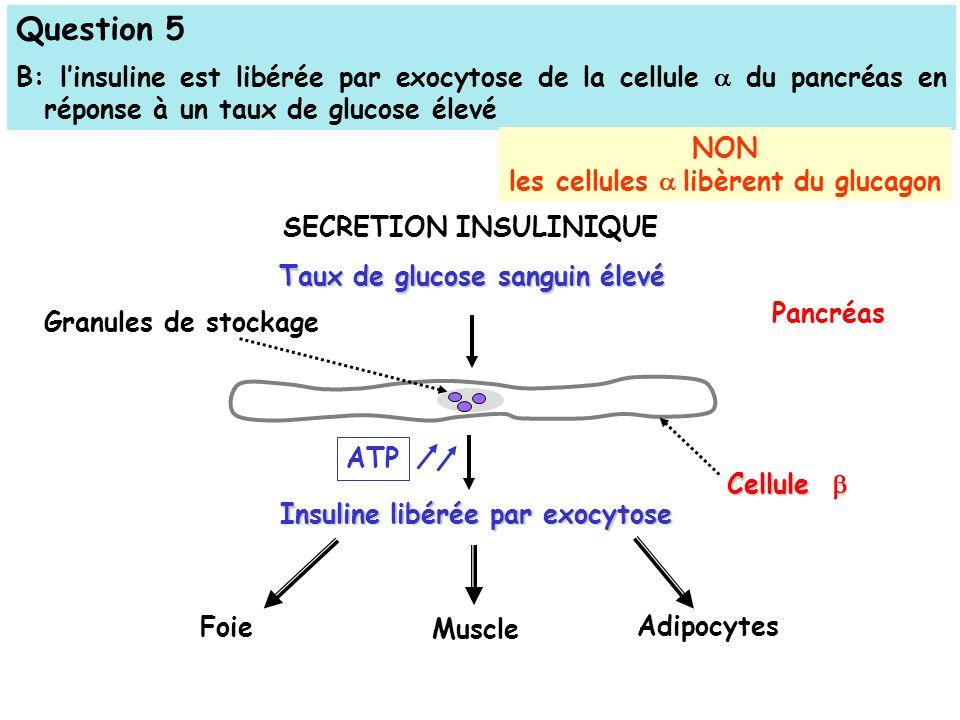 Question 5 B: linsuline est libérée par exocytose de la cellule du pancréas en réponse à un taux de glucose élevé Taux de glucose sanguin élevé Pancréas Insuline libérée par exocytose Foie Muscle Adipocytes Cellule Cellule ATP SECRETION INSULINIQUE Granules de stockage NON les cellules libèrent du glucagon