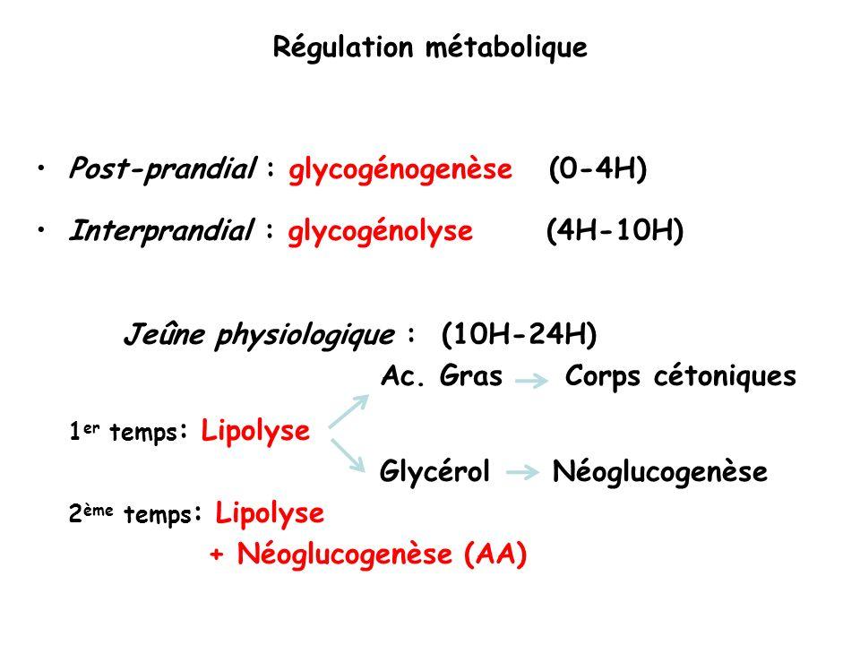 Post-prandial : glycogénogenèse (0-4H) Interprandial : glycogénolyse (4H-10H) Jeûne physiologique : (10H-24H) Ac.