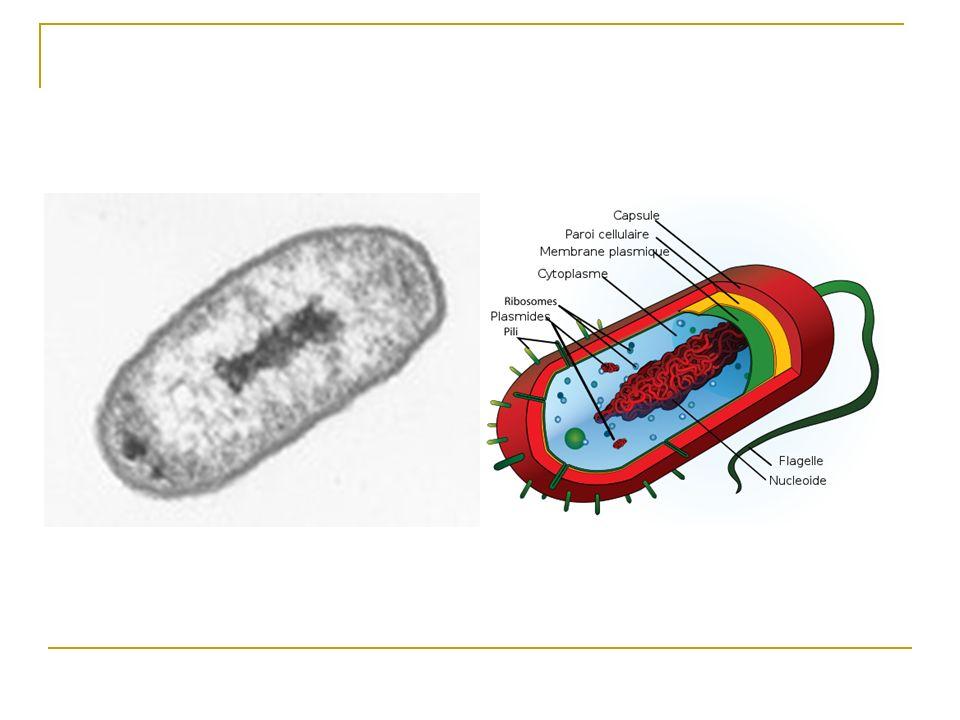 Bactérie à Gram positif
