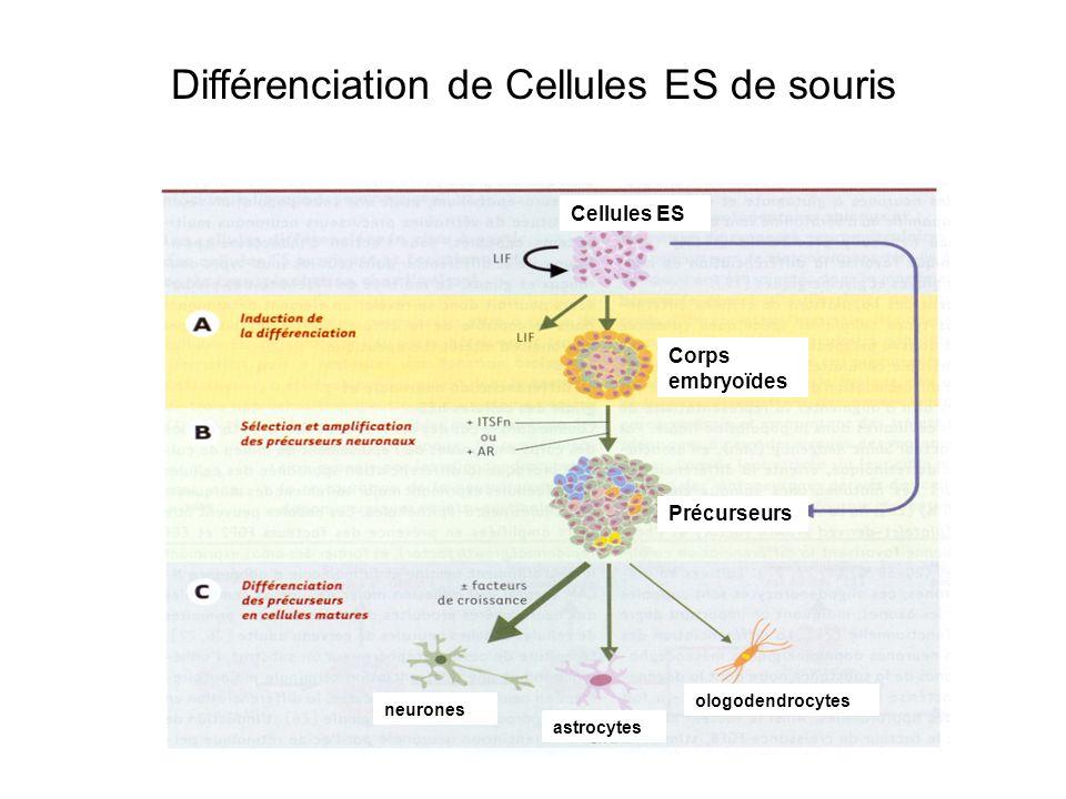 Différenciation de Cellules ES de souris Cellules ES Corps embryoïdes Précurseurs neurones astrocytes ologodendrocytes