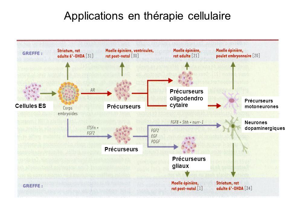 Cellules ES Précurseurs Précurseurs oligodendro cytaire Précurseurs gliaux Précurseurs motoneurones Neurones dopaminergiques Applications en thérapie