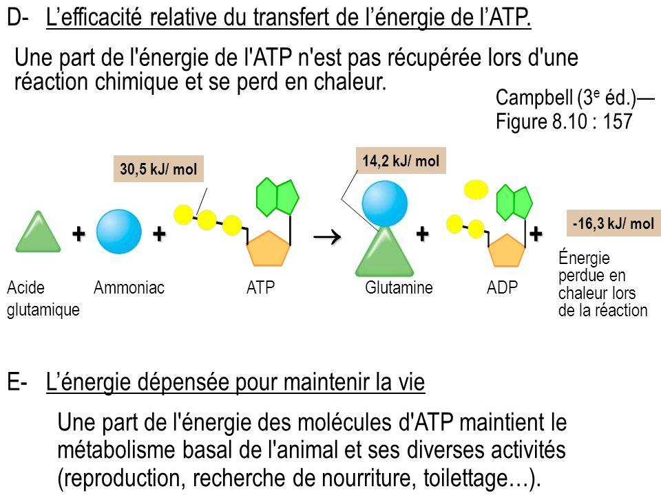 Une part de l énergie des molécules d ATP maintient le métabolisme basal de l animal et ses diverses activités (reproduction, recherche de nourriture, toilettage…).