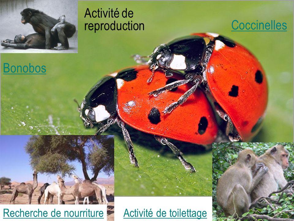 Coccinelles Activité de reproduction Bonobos Activité de toilettageRecherche de nourriture