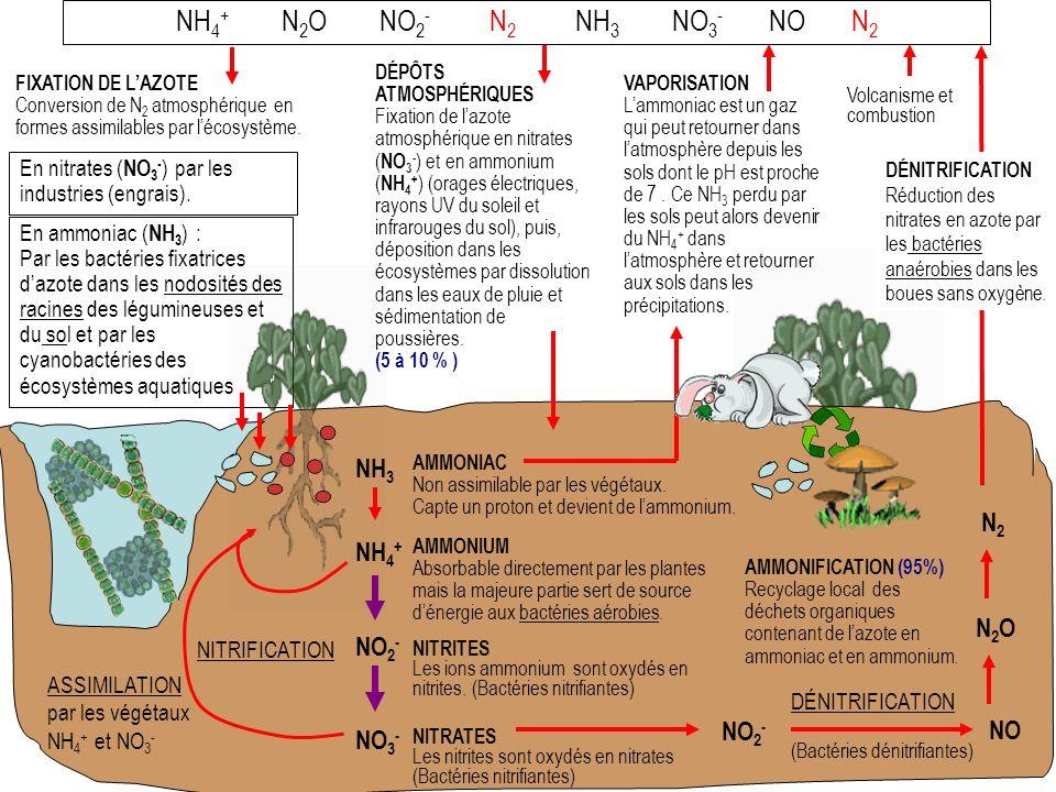 FIXATION DE LAZOTE Conversion de N 2 atmosphérique en formes assimilables par lécosystème.