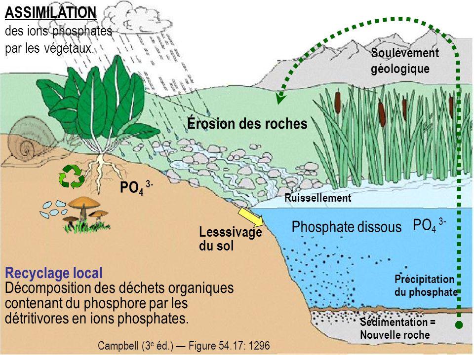 ASSIMILATION des ions phosphates par les végétaux.
