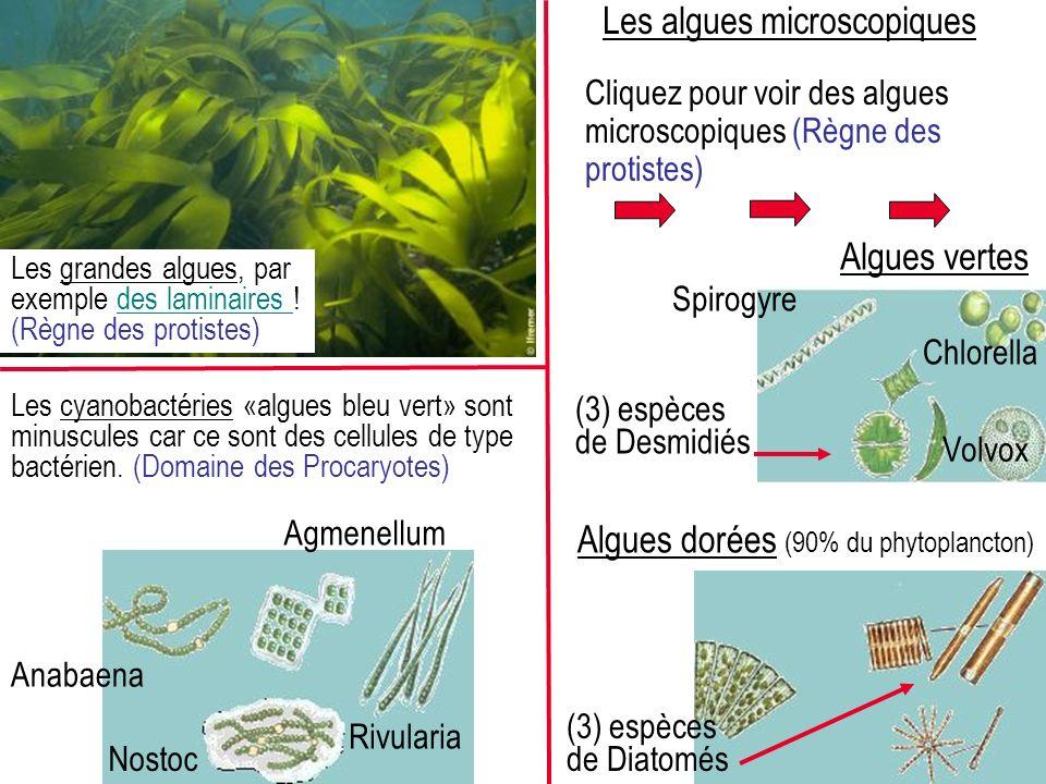 Cliquez pour voir des algues microscopiques (Règne des protistes) Spirogyre Chlorella Volvox Algues vertes (3) espèces de Desmidiés Algues dorées (90% du phytoplancton) (3) espèces de Diatomés Rivularia Anabaena Nostoc Les cyanobactéries «algues bleu vert» sont minuscules car ce sont des cellules de type bactérien.