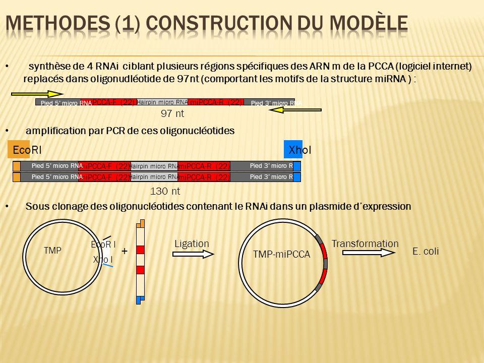 synthèse de 4 RNAi ciblant plusieurs régions spécifiques des ARN m de la PCCA (logiciel internet) replacés dans oligonudléotide de 97nt (comportant le