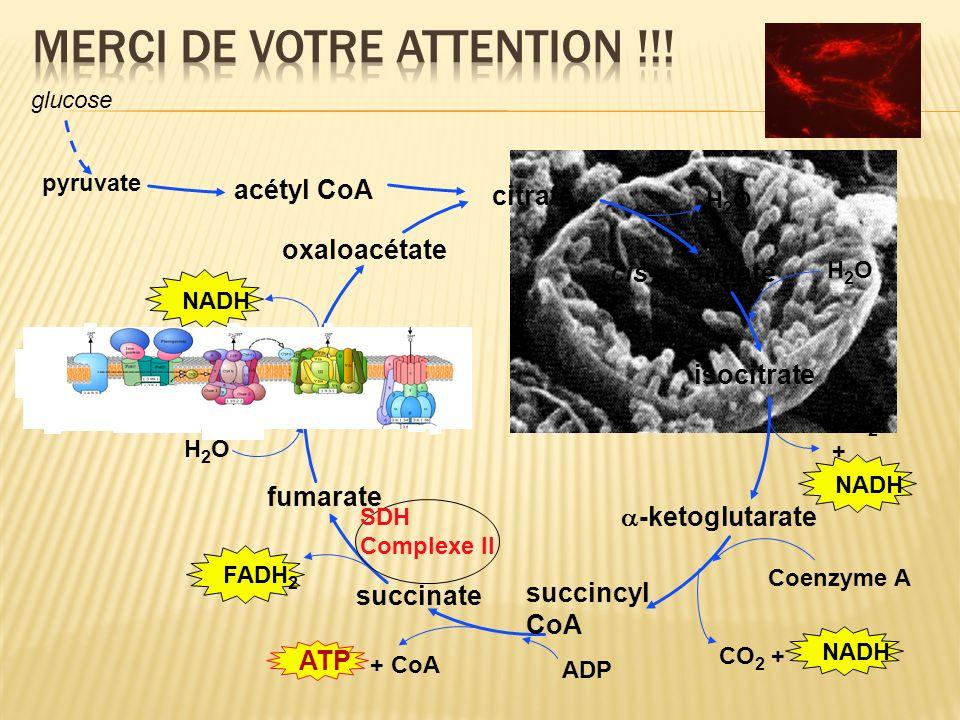 citrate cis-aconitate isocitrate -ketoglutarate succincyl CoA succinate fumarate malate oxaloacétate acétyl CoA H2OH2O H2OH2O CO 2 + CO 2 + Coenzyme A